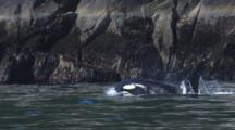 Very Close Up Killer Whale Surfaces With Eye Shining In Front Of Rocky Coast