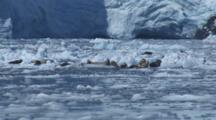 Harbor Seals Rest On Ice Bergs In Front Of Massive Glacier And Small Calving Event