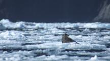 Harbor Seal Alert Then Lays Down Yawns On Iceberg Bobbing In Water Glacier In Background