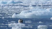 Curious Harbor Seal Floats With Head Just Out Of Water In Between Ice Bergs