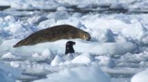 Harbor Seal Adult Lays On Ice While Pup Swims In Between Ice Bergs Bobbing In Waves With Heat Waves In Background