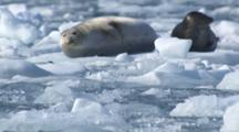 Round Harbor Seals Floating On Ice Berg Bobbing In Water