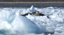 Harobr Seals Rest On Ice Among Many Ice Bergs Bobbing In Waves Caused By Glacier Calving