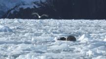 Harbor Seal Mother And Pup Rest On Ice Berg Bobbing In Water After Glacier Calving Event