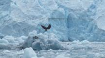 Bald Eagle Flies Low Over Iceberg Filled Water Then Perches On Drifting Blue Iceberg In Front Of Glacier Face And Calls