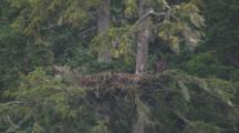 Big Bald Eagle Chick Sits And Preens At Edge Of Nest In Spruce Tree