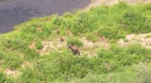 Cineflex Aerial Of Protective Moose Mother And Twin Calves Leave River And Run Through Alder Scrub