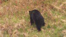 Black Bear Grazes On Steep Grassy Slope