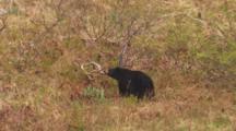 Cineflex From Boat Tilt Down To Reveal Black Bear Grazing On Grassy Slope