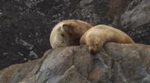 Cineflex Close Up Of Plump Sea Lions Lounging On Coastal Rocks