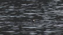 Horned Puffin Flies, Running Along Water Surface, Splash Landing, Then Swims