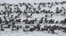 Exnice Dense Flock Of Murres Ride Ocean Swell
