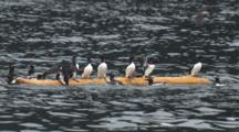 Murres Clammer Onto Floating Log Dive Off As Other Murres Clammer On