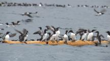 Exnice Murres Clammer Onto Floating Log Many Fall Off Logrolling Humor
