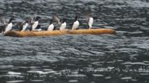 Slow Motion Murres Clammer Onto Floating Log Dive Off As Other Murres Clammer On