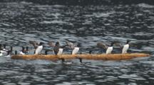Slow Motion Murres Clammer Onto Floating Log Fall Off As Log Rolls Logrolling Humor