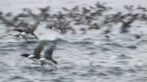 Slow Motion Common Murres Take Off From Ocean Surface