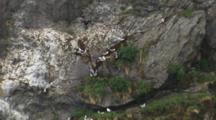 Push To Black-Legged Kittiwake Gather Mud On Cliff Face For Building Nests