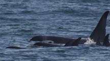 Exnice Slow Motion Pod Of Killer Whales Surface For Air Along Alaska Coast