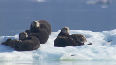 Sea Otters Hauled Out On Glacier Ice Icebergs Scratch And Preene Tight Shot