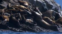 Large Stellar Sea Lion Bull Makes His Way Through Rookery Disturbing Smaller Animals And Causing Ruckus