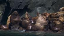 Tight Shot Pans Over Sea Lion Rookery Grunting Carrying On Pull To Wider Shot