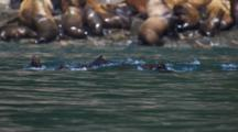 Group Of Stellar Sea Lions Swim In Front Of Rookery