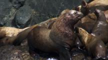 Slow Motion Large Stellar Sea Lion Bull Pushes Aside And Disturbs Females