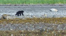 Black Bear Walks Along Alaska Coast Past Kelp Covered Rocks In Intertidal Zone