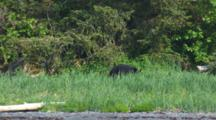 Black Bear Walks Through Tall Grass Along Alaska Coast
