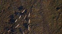 Arctic Aerial Cineflex Straight Overhead Caribou Migrate Across Tundra Golden Light Long Shadows
