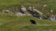 Aerial Cineflex Travels Alongside Beautiful Black Bear As It Grazes In Alpine Meadow With Waterfall Mountain Creek In Background