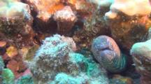 Zebra Moray Eel Looking Out From Coral