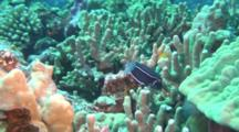 Whitley's Boxfish On Reef Vary Rareley Seen