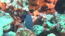 Whitley's Boxfish On Reef Rareley Seen