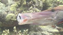 Trumpetfish Eating A Squirrelfish
