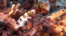 Snowflake Moray Eel Hunting