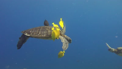 GREEN TURTLES BEING CLEANED