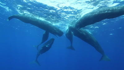 Sperm Whales (Physeter Macrocephalus), Social Group, Pod, Heads Together, Includes Audio Of Whales Clicking