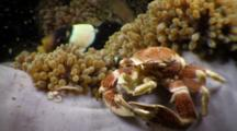 Porcelain Crab Shares Anemone With Anemonefish
