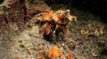Decorator Crab On Muck Bottom