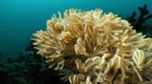 Xenia Octocoral Feeding In Current