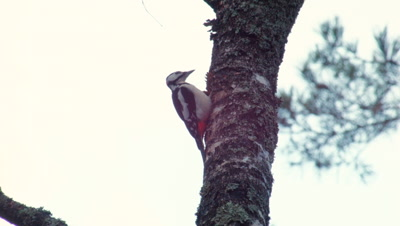 Great Spotted Woodpecker Dendrocopos Major and the Pinecone
