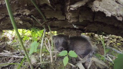 Baby Racoon dogs Nyctereutes procyonoides in wild