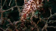 Ornate Or Harlequin Ghost Pipefish Hangs Vertically