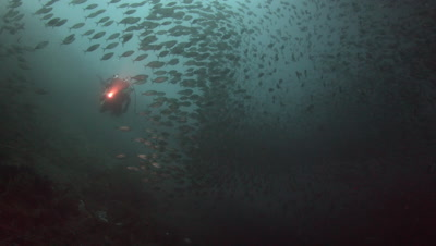 Diver In School Of Fish