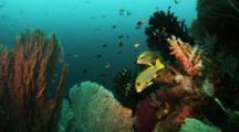 Ribbon Sweetlips Among Dense Community Of Soft Corals