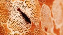 Periclimenes Shrimp On Sea Cucumber Skin