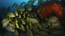 School Of Sweetlips Gather Near Reef