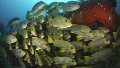School Of Sweetlips Gather Near Reef